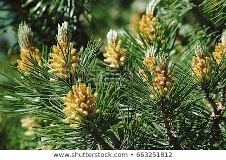inflorescence of pine Stock photo © MiroNovak