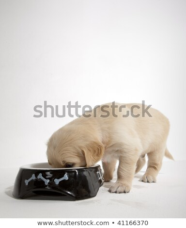 Stock photo: puppy of golden retriever at its bowl