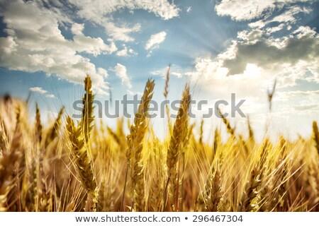 Foto stock: Ouro · orelhas · trigo · céu · macio · foco