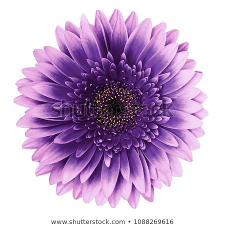 światło słoneczne kwiat żółty fioletowy Zdjęcia stock © emattil