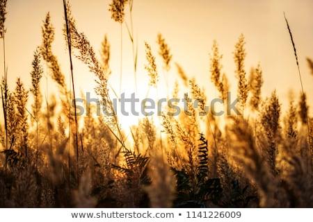 altın · gün · batımı · plaj · çim · rüzgâr - stok fotoğraf © alisluch