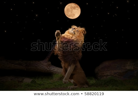 A starring Lion in the Kruger. Stock photo © simoneeman