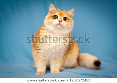 Red British Shorthair male cat Stock photo © CatchyImages