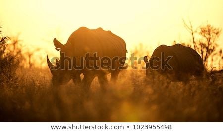 White rhino grazing in the golden light. Stock photo © simoneeman