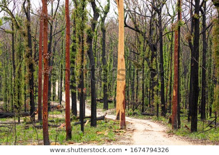 Burnt bark is shed by the tree after bush fire Stock photo © lovleah