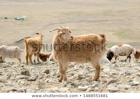 herd of goats in Mongolian prairie Stock photo © joyr
