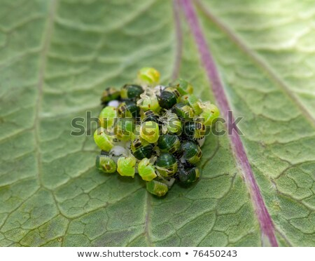 common green shield bug eggs stock photo © suerob