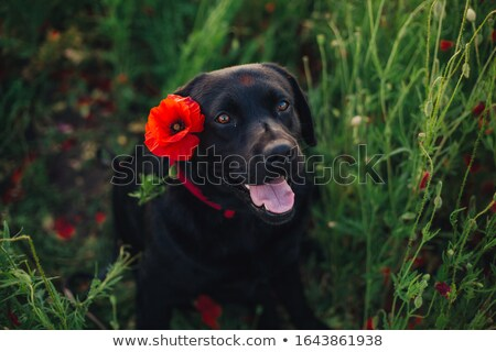 guapo · negro · cachorro · labrador · retriever · rojo - foto stock © feedough