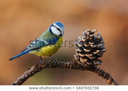 Тит · филиала · дерево · глаза · природы - Сток-фото © bendzhik