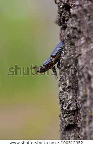 Иерусалим жук дерево макроса выстрел сторона Сток-фото © macropixel