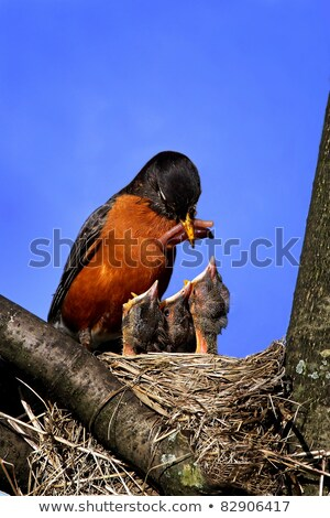 baby birds mother robin feeding chick stock photo © saje