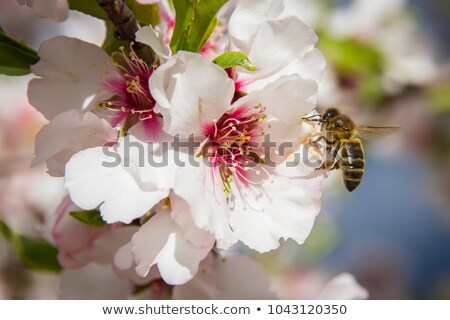 printemps · abeilles · rose · fleurs · du · printemps · miel - photo stock © sherjaca