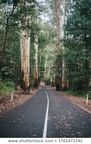 Path Through a Eucalyptus Forest Stock photo © rhamm