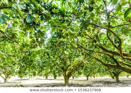 citroen · opknoping · tak · groeiend · boomgaard - stockfoto © rhamm