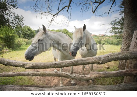 Kettő lovak istálló néz kívül ablak Stock fotó © 5xinc