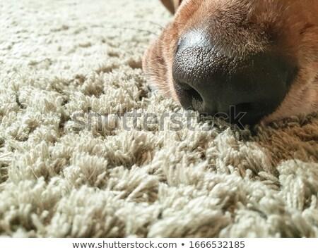 Beagle · chien · nez · macro · coup - photo stock © arenacreative