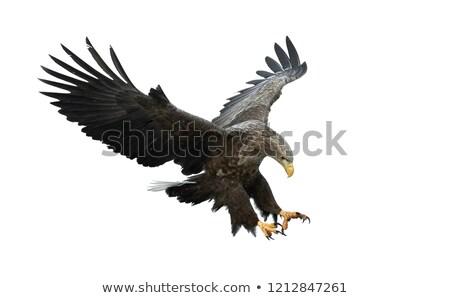 vliegen · adelaar · vleugels · mascotte · ontwerp · grafische - stockfoto © unkreatives