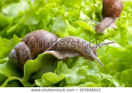 Garden snail is eating lettuce leaves stock photo © anmalkov