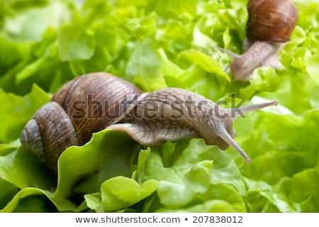 Garden snail is eating lettuce leaves Stock photo © anmalkov
