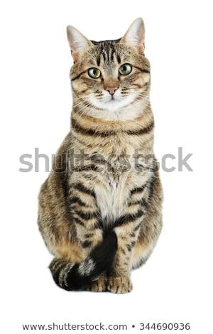 primer · plano · retrato · gris · gato · aislado · blanco - foto stock © karandaev
