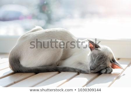 Sziámi macska alszik pléd stock fotó macska Stock fotó © nalinratphi