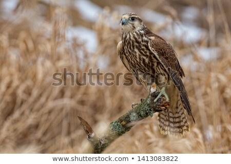 Falcon occhi uccello bill fauna selvatica Foto d'archivio © dirkr