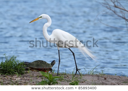 Great Egret With Turtle stock photo © rhamm