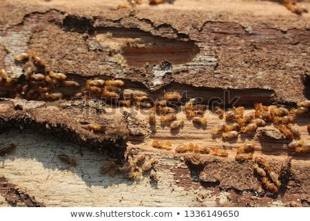Termitas imagen edificio madera diseno negro Foto stock © cteconsulting