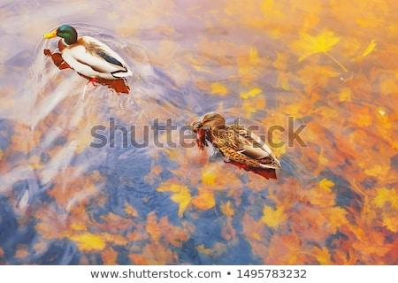 two mallard ducks stock photo © cteconsulting