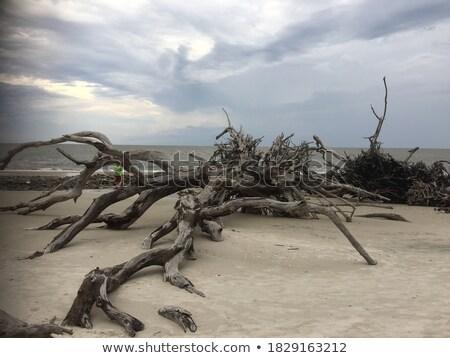 Troncos praia único de manhã cedo conjunto Foto stock © lovleah