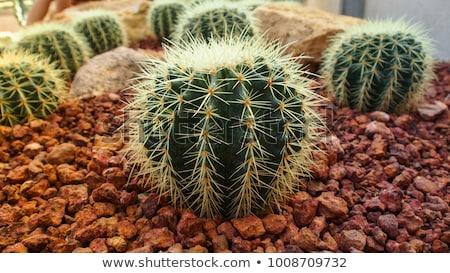 cactus echinocactus grusonii golden barrel cactus stock photo © leungchopan