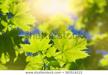giovani · primavera · foglie · cielo · cielo · blu · copia · spazio - foto d'archivio © hofmeester