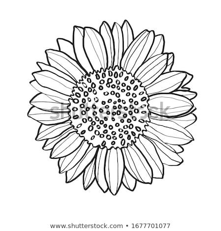 Geel · zonnebloemen · geïsoleerd · witte · zon - stockfoto © neirfy