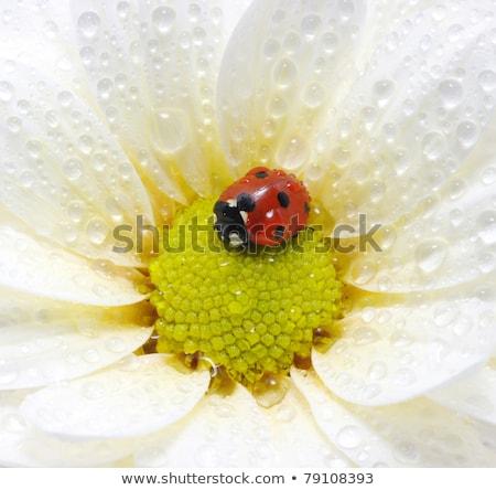 katicabogár · ül · virág · kert · nyár · egyedül - stock fotó © mady70