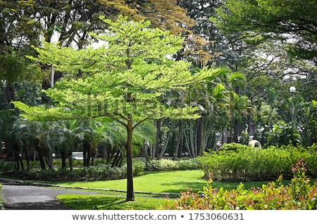 A Terminalia ivorensis plant Stock photo © bluering