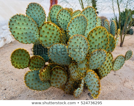 A cactus plant in the desert Stock photo © bluering