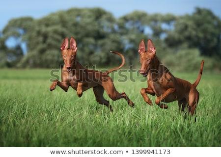dog breed Pharaoh hound running Stock photo © goroshnikova