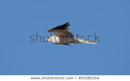 White-tailed Kite - Elanus leucurus, Adult. Hayward, California, USA Stock photo © yhelfman