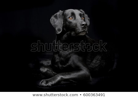 Stock photo:  mixed breed dog in black background studio