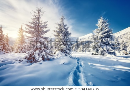 Majestic white spruces glowing by sunlight. Stock photo © Leonidtit