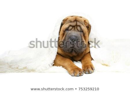 belo · cachorro · adormecido · isolado · branco · cópia · espaço - foto stock © svetography