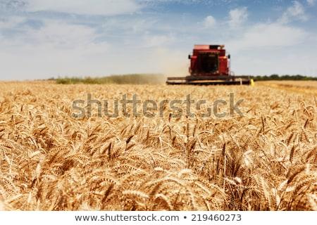 Stockfoto: Oogst · mais · gewas · veld · werken · plantage