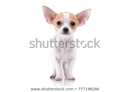 puppies chihuahuas in studio stock photo © cynoclub
