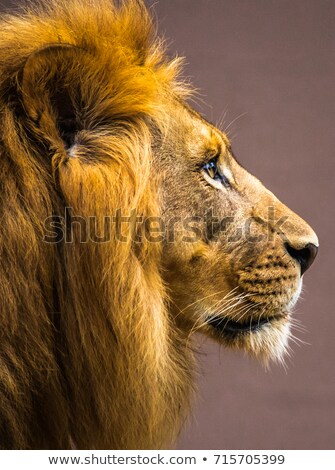 Lion Head Profile Stock photo © Krisdog