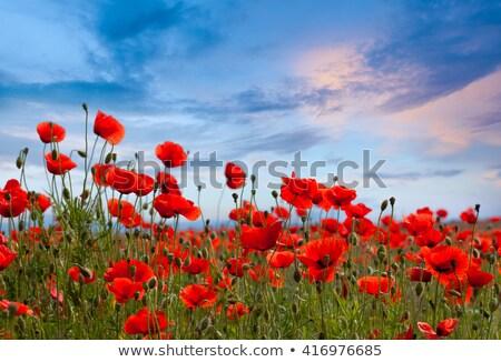 Gelincikler mavi gökyüzü bahar manzara gökyüzü bahçe Stok fotoğraf © guillermo