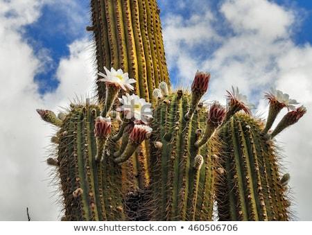 colorato · cactus · impianti · piccolo · ombra · luce · del · sole - foto d'archivio © daboost