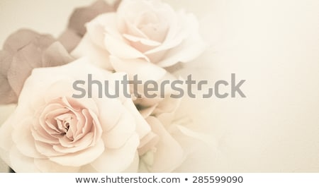 pink and beige roses on the light green background greeting stock photo © tasipas