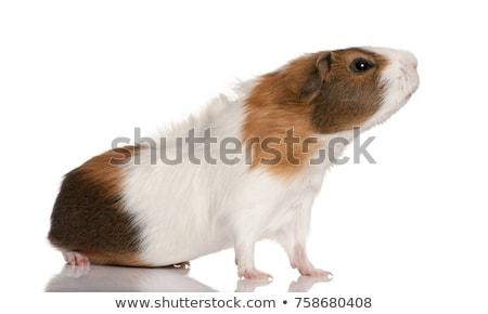 голову · прелестный · коричневый · морская · свинка · стекла · черный - Сток-фото © feedough