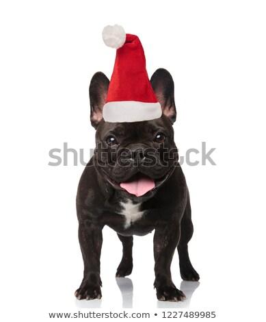 Imádnivaló mikulás francia bulldog zihálás áll Stock fotó © feedough