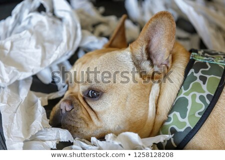 frenchie resting from paper shredding enjoyment stock photo © yhelfman